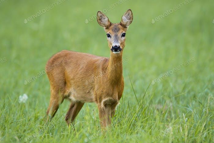 Cute roe deer doe facing camera on green summer meadow
