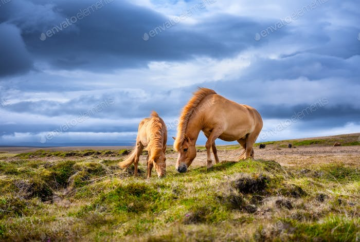 Horses in Iceland. Wild horses in a group. Horses on the Westfjord in Iceland.