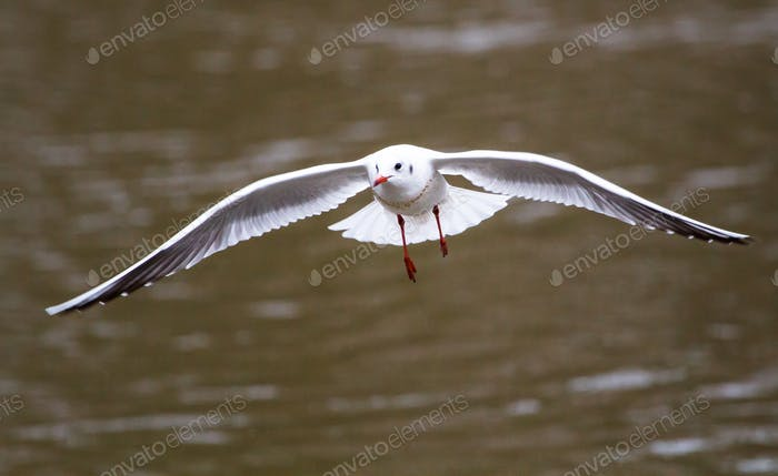 Black-headed Gull in Flight in England