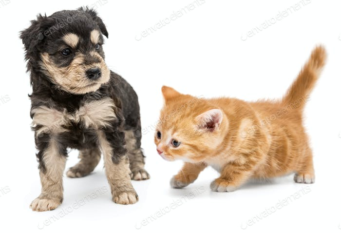 Puppy and ginger kitten