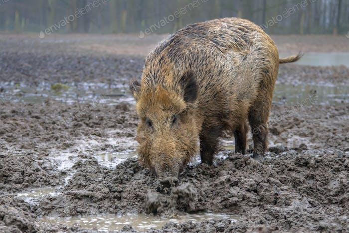 Fütterung Wildschwein