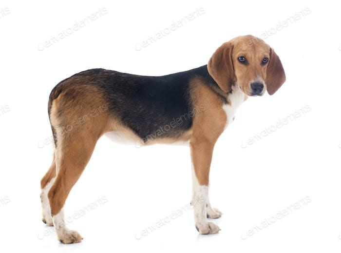 Beagle Weihe