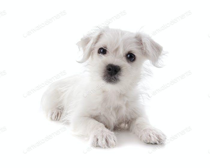 Maltese Westie puppy
