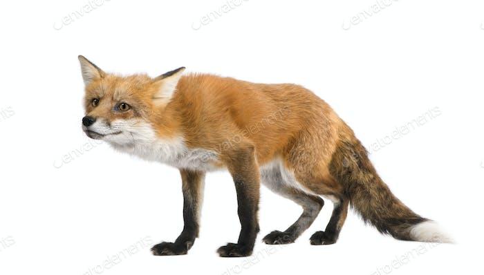 Red fox (4 years)- Vulpes vulpes