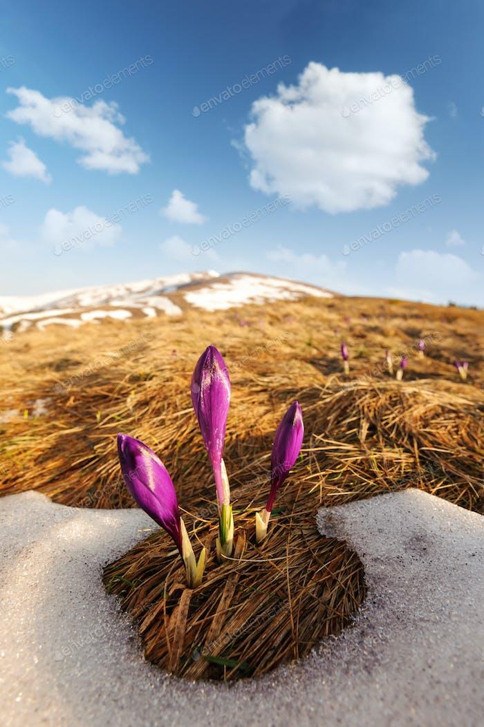 Group of crocus flower in grass
