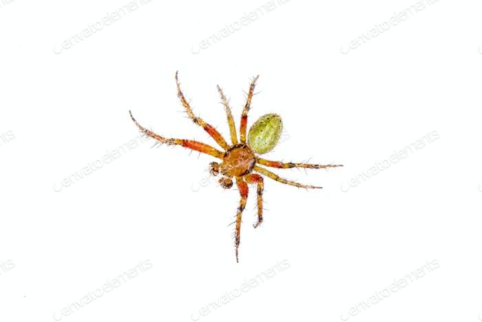 Orange green spider on a white background