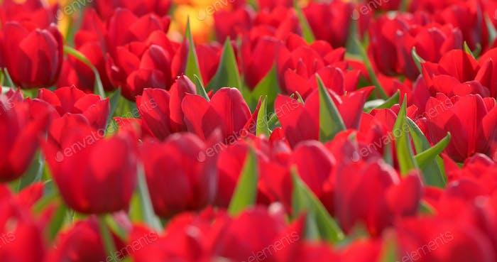 Schöne rote Tulpen Feld