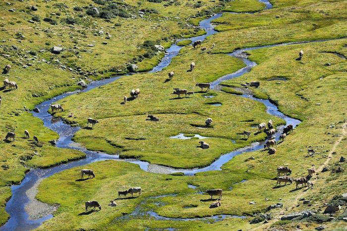 Pyrenean cows along Tristaina river , Andorra