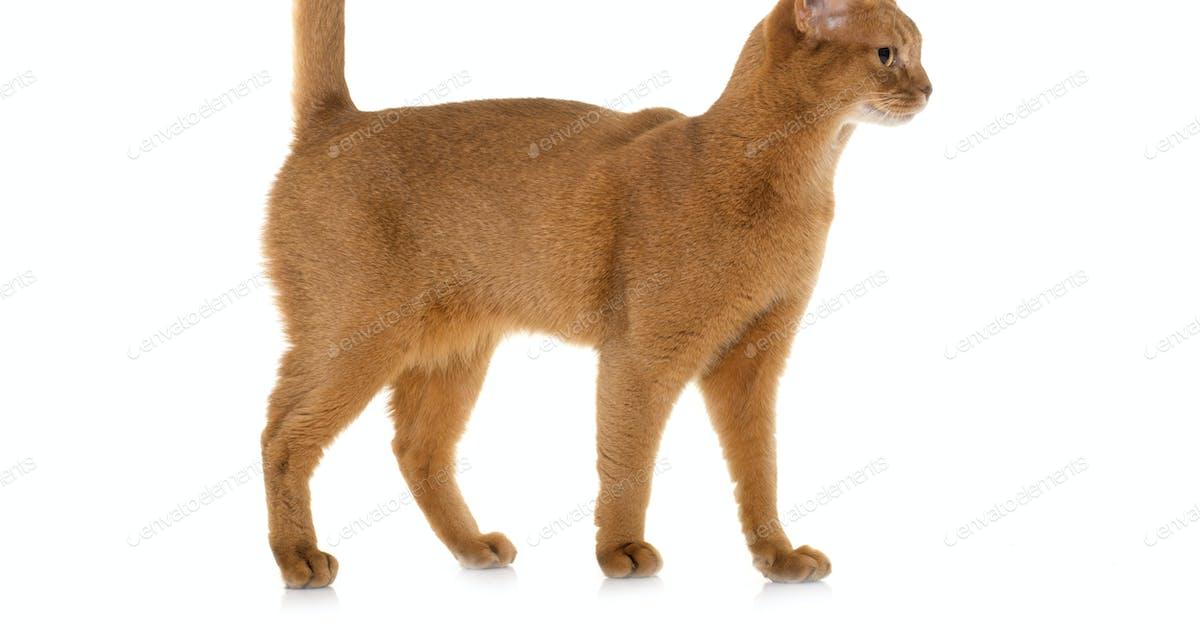Abyssinian Cat Nova Scotia