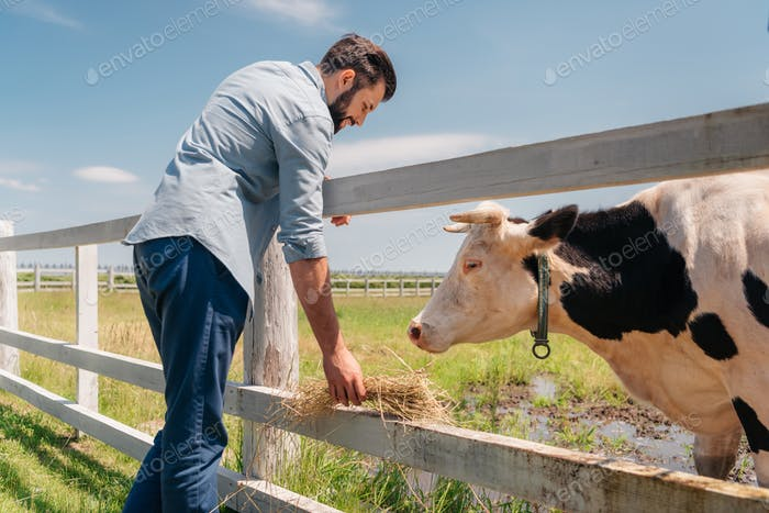 bearded man standing at wooden fence and feeding cow on farmland