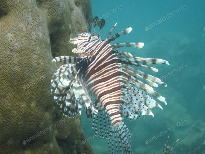 Lionfish Underwater in the Caribbean Sea