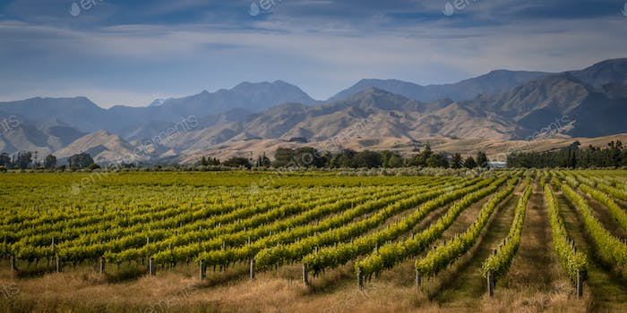 Organic Vineyard overview Marlborough area new zealand