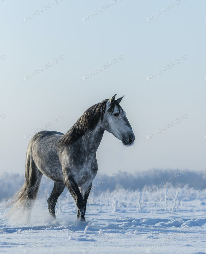 PRE Andalusian gray horse walks on freedom