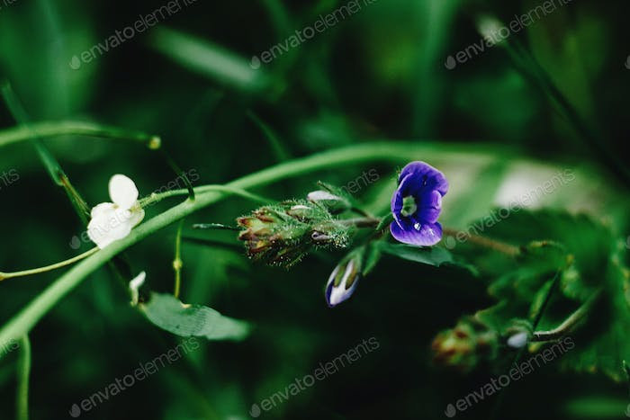beautiful blue flowers in the sunny mountains, national park protection