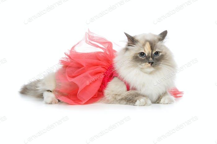 schöne Birma Katze in rosa Kleid