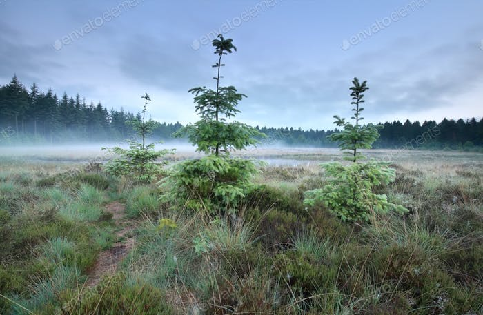 spruce trees during misty morning