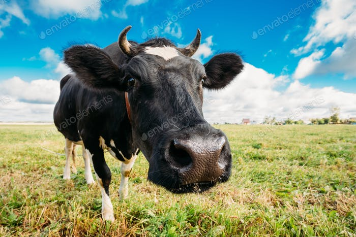 Close Up Of Cow In Meadow Or Field With Green Grass In Mouth. Co