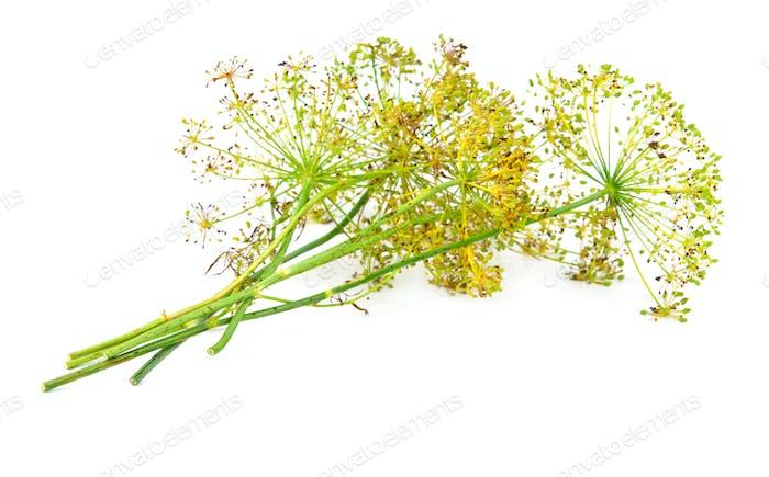 dill flower