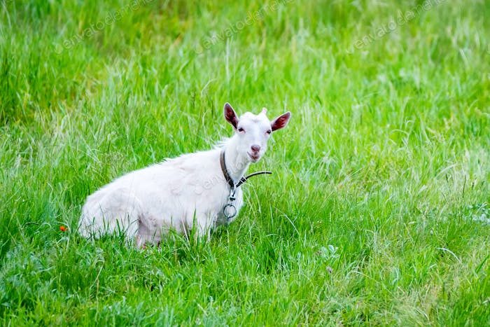 White domestic goat grases in green field