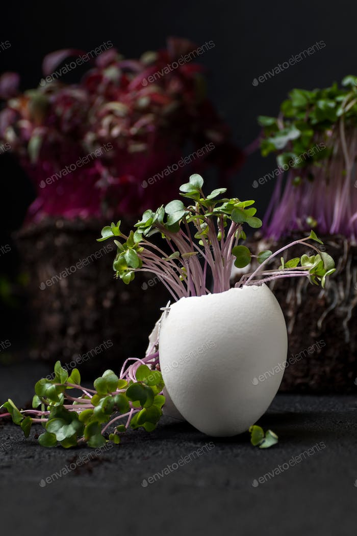 A green cress-salad grows in an egg-shell on a black background.