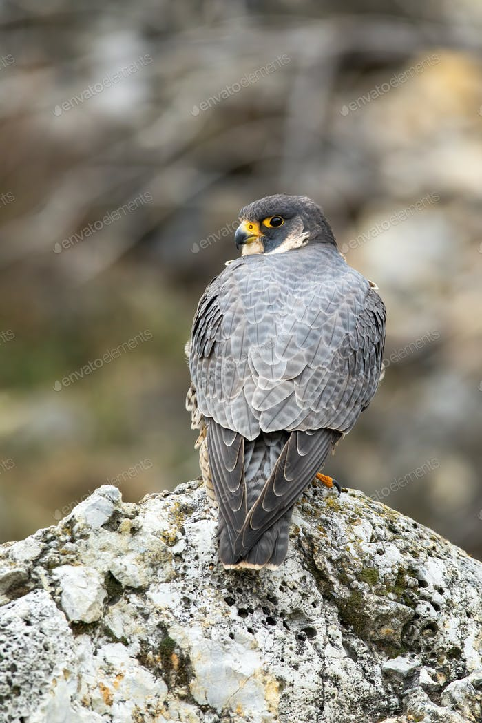 Magnificent peregrine falcon sitting on rock in spring nature from rear view