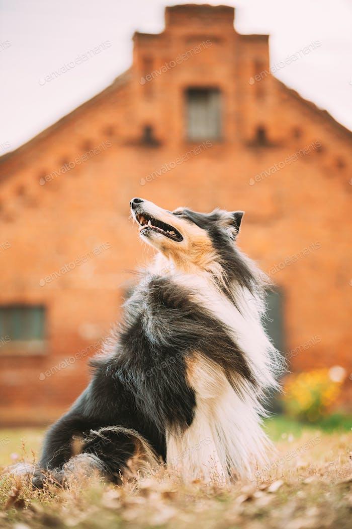 Tricolor Rough Collie, divertido Collie escocés, Collie de pelo largo, Collie inglés, Lassie Dog Posando