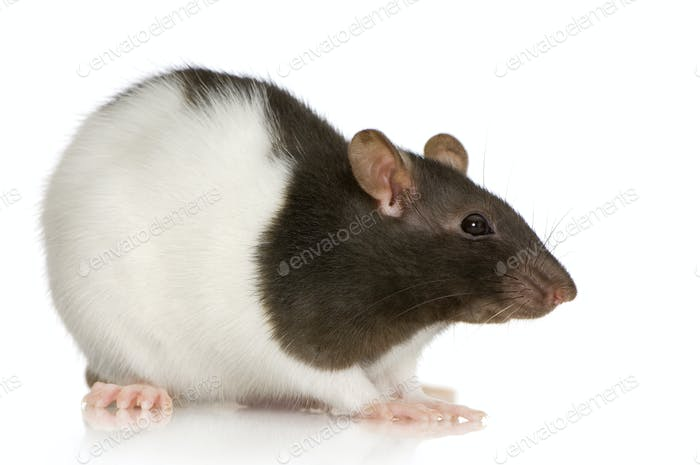 Two-coloured panda rat