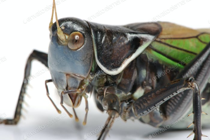 Grasshopper - Gampsocleis gratiosa