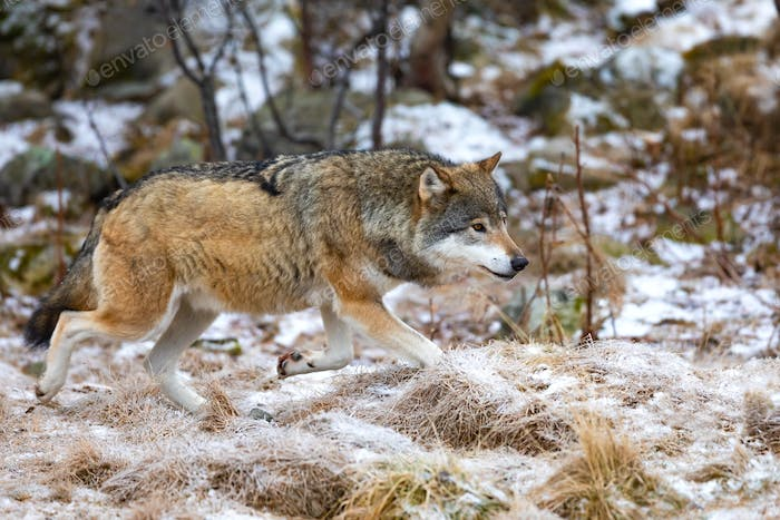 Close-up of magnificent wolf running in the forest in early winter