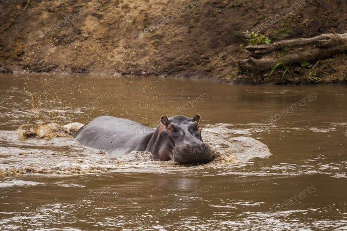 Hippo in the lake. Kenya National Park. Africa.
