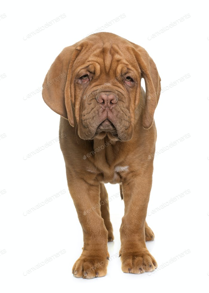Welpe Dogue de Bordeaux