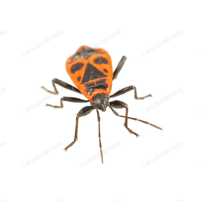 Firebug (Pyrrhocoris apterus) on a white background