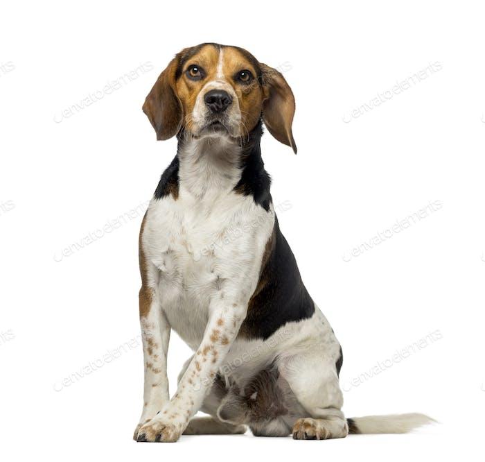 Beagle (3 Jahre)