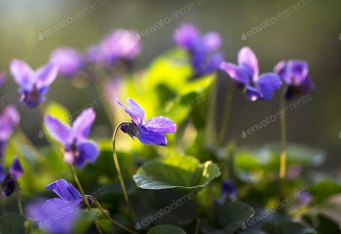 Springtime - violet flowers