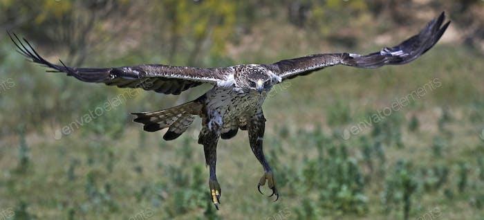 Bonellis Adler (Aquila fasciata)