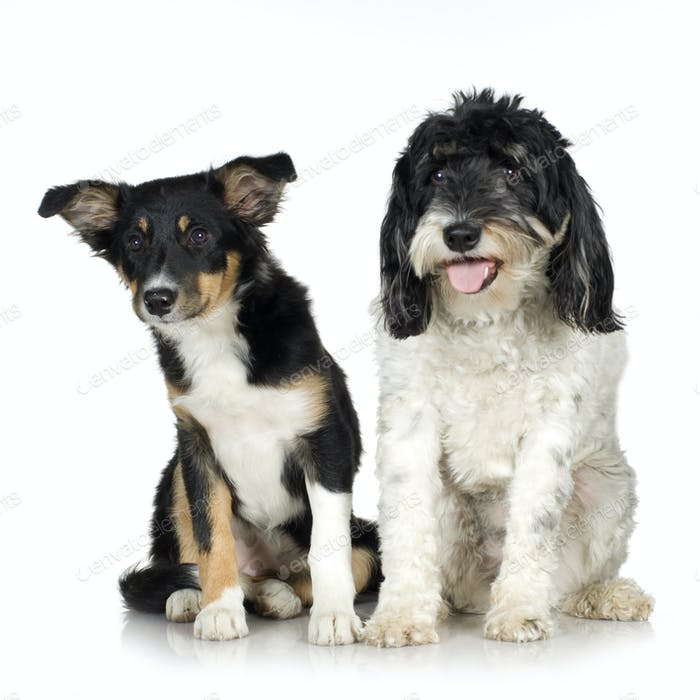 Tibetan Terrier (3 years) and puppy Border Collie (4 months)