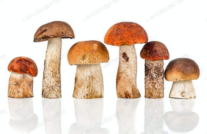 Orangenkappe Steinpilz und Steinpilz