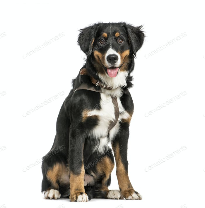Bernese Mountain dog, 9 months old, sitting in front of white background