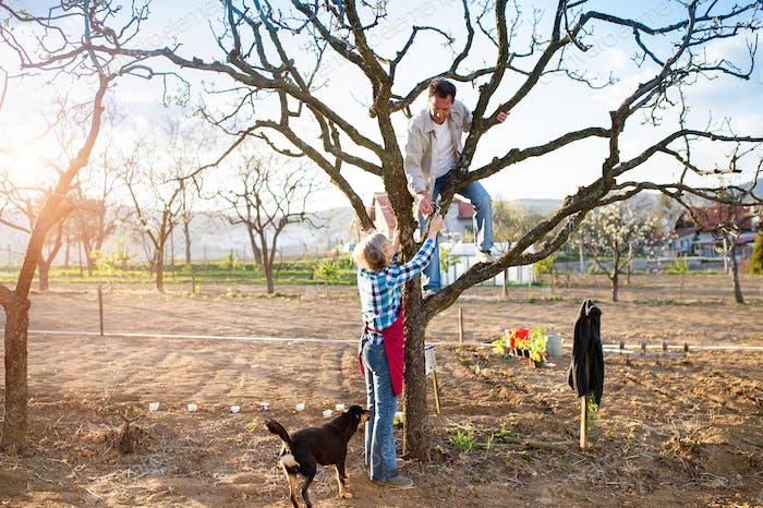 Ältere Paar Beschneiden Apfelbaum