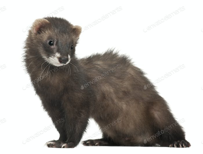 Ferret, 5 months old, standing in front of white background