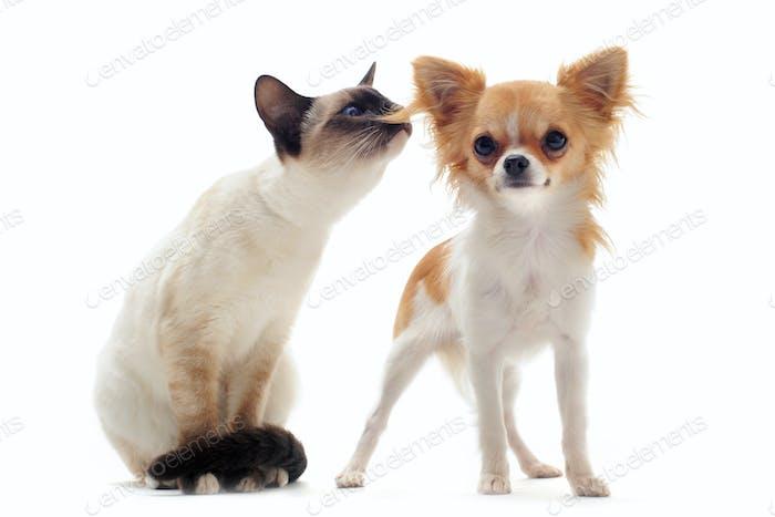 Welpen Chihuahua und Siam-Kätzchen