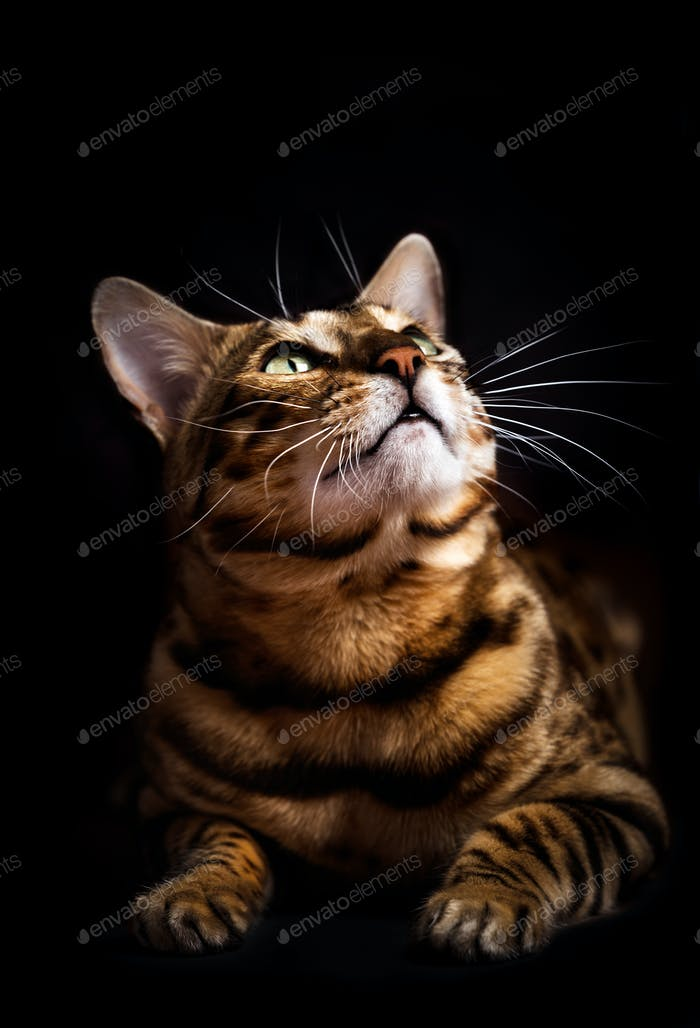 Bengal cat portrait on black background. Purebred