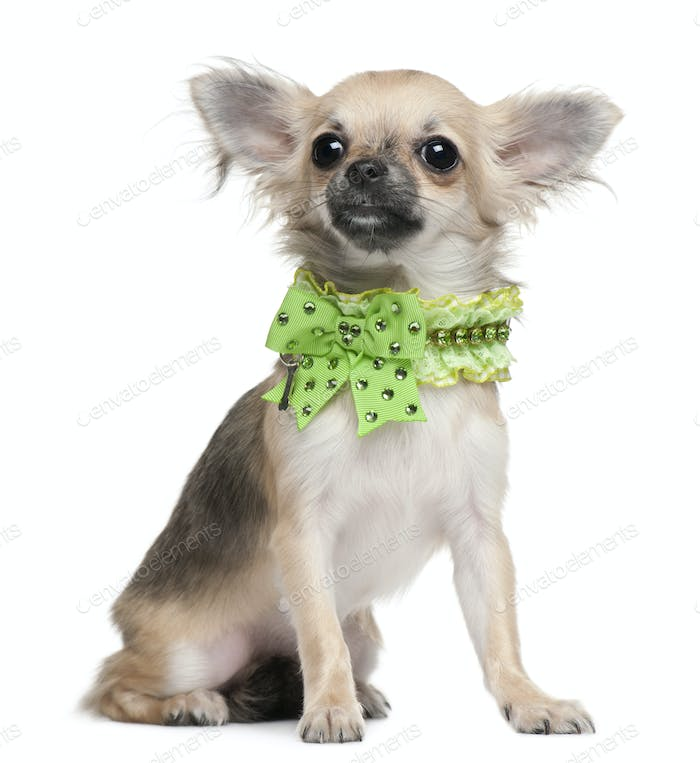Chihuahua puppy, 6 months old, dressed up and sitting in front of white background