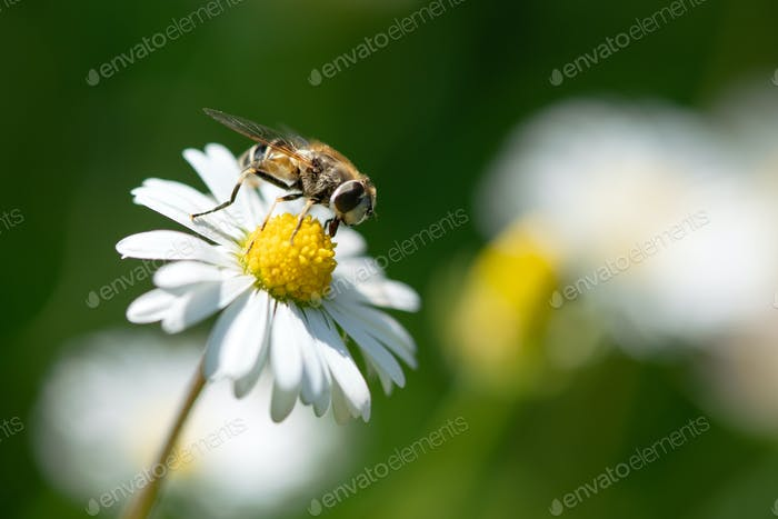 Flying insect taking off from a daisy flower in garden