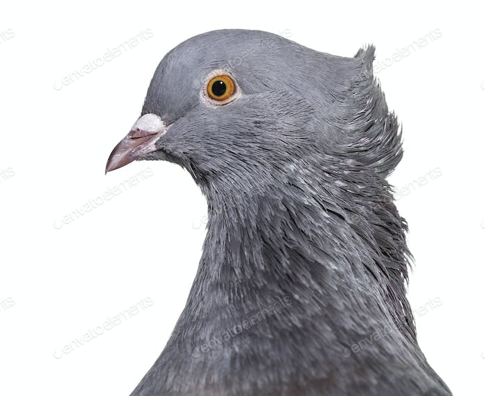 English Fantail pigeon, close up against white background