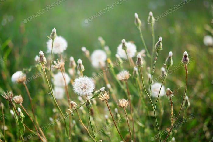 Dandelions in backlight on green meadow