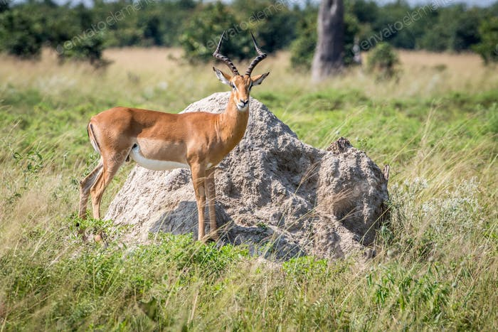 Impala ram standing on a Termite mount.