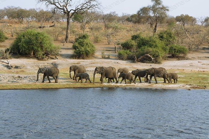 Elephants family in Chobe riverfront