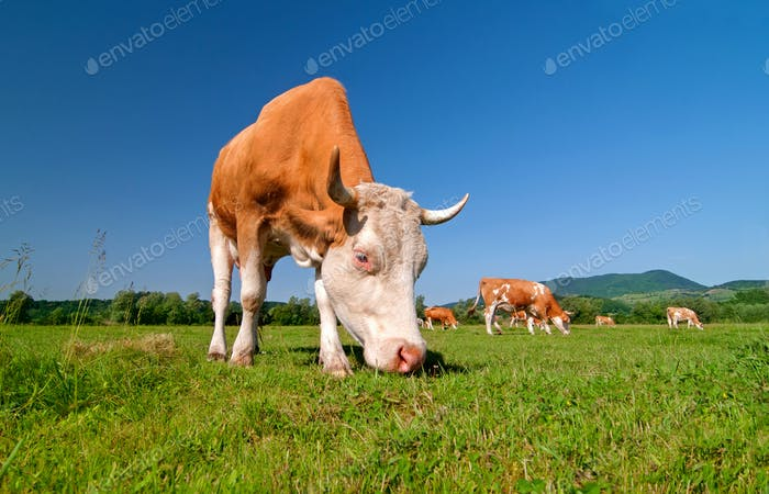 Cow grazing in a field