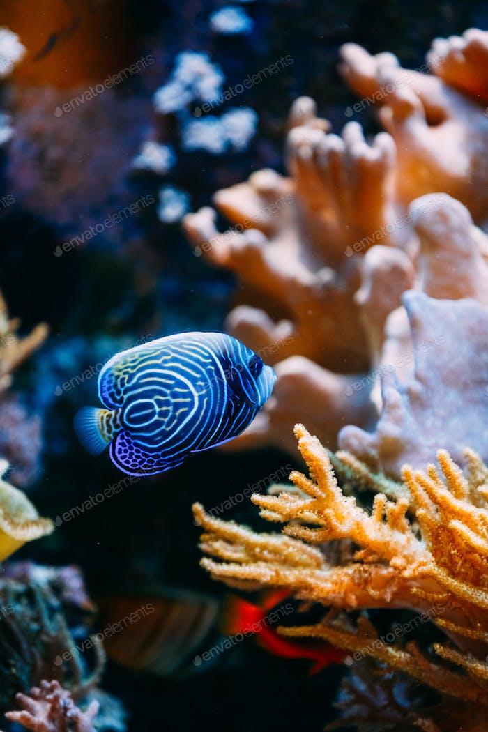 Pomacanthus navarchus azul ángel Pescado de Mar en acuario